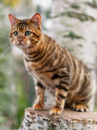 Тойгер: информация о породе кошки и обзор