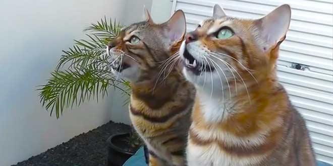 Почему бенгальские кошки воют?