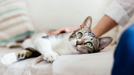 Инфекционный перитонит кошачий коронавирус