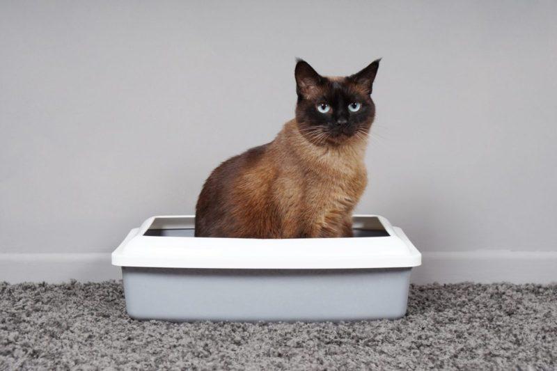 Причины и варианты лечения кровавого стула у кошек