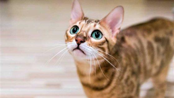 Является ли Бенгальская кошка Гипоаллергенной?