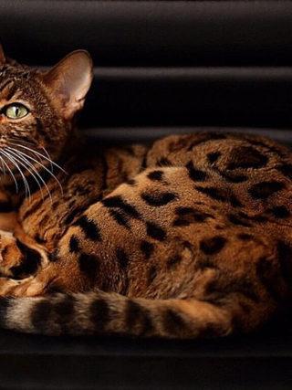 Бенгальские кошки издают много громких и разнообразных звуков, чтобы общаться со своим хозяином.