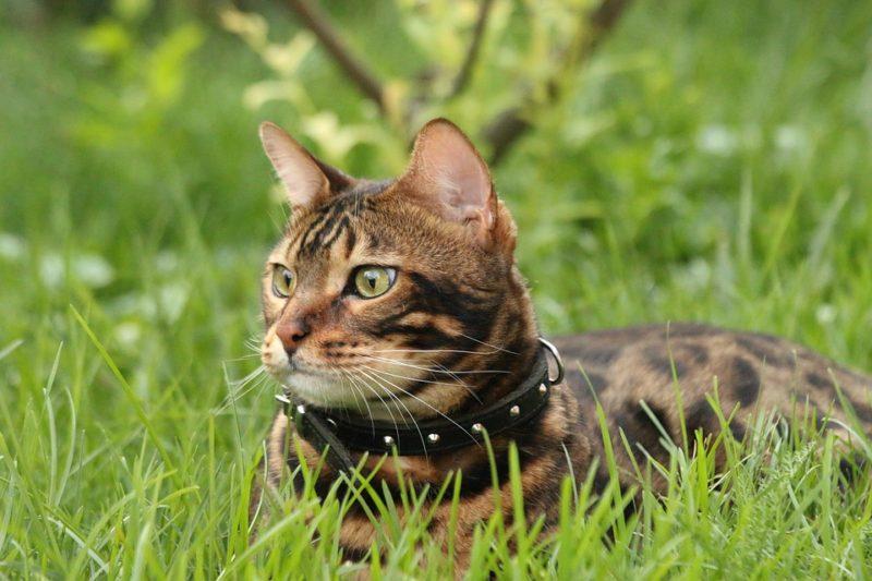 Как приучить бенгальскую кошку к поводку