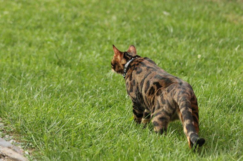 Насколько быстро бегают бенгальские кошки?