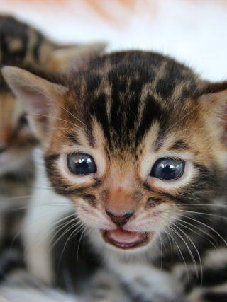 Когда бенгальские котята теряют зубы?