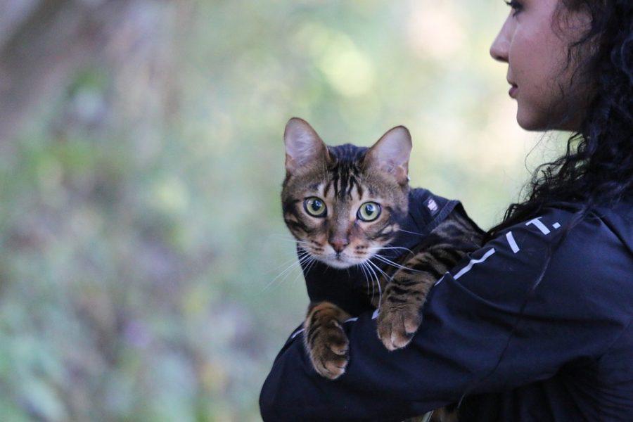 Как приучить бенгальскую кошку ходить на поводке
