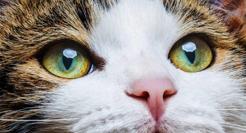 Строение и функции глаз у кошек