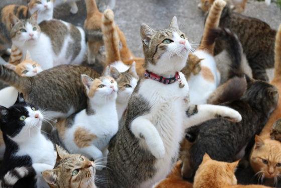 кошки могут заразить друг друга коронавирусом