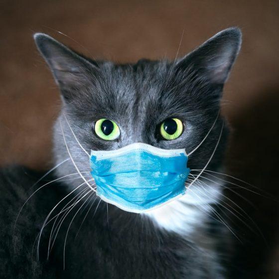 Может ли человек заразится коронавирусом от кошки?