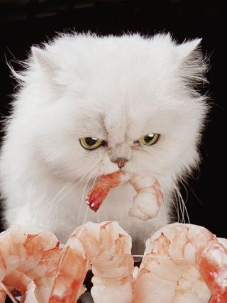 Могут ли кошки есть креветки
