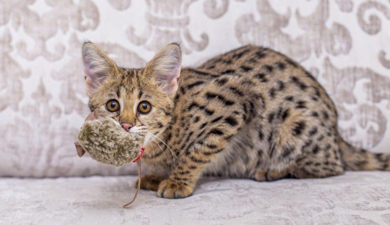 Описание гибридных пород кошек