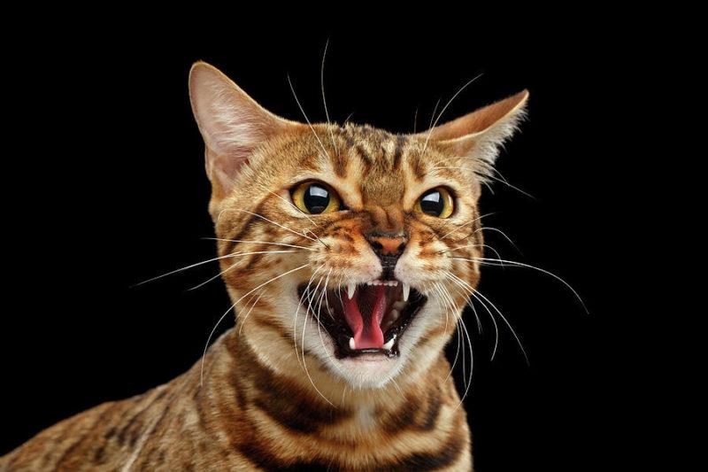 Шипят ли бенгальские кошки?