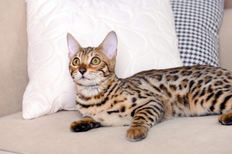 Легко ли дрессировать бенгальских кошек - полезное руководство