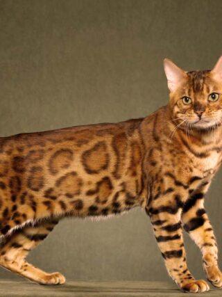 Уход за бенгальской кошкой: как содержать ее в идеальном состоянии