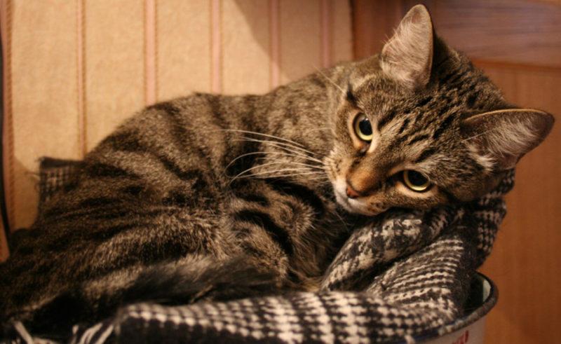 депрессия у кошки