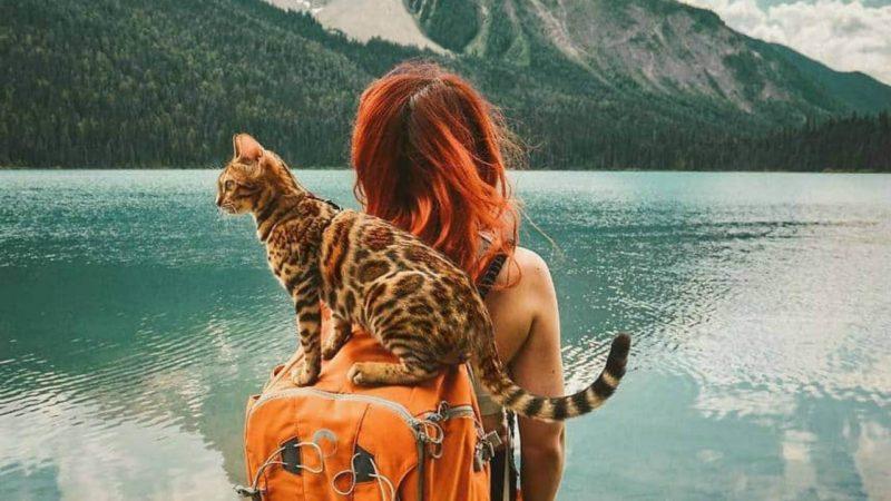 Хорошо ли переносят путешествия бенгальские кошки?