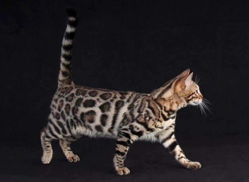 Уход за своей бенгальской кошкой