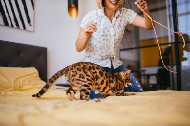 бенгалы тоже домашние кошки, а это значит, что они могут легко чувствовать себя как дома в помещении. Тем не менее, очень важно предоставить бенгальской кошке или котенку достаточные стимулы и возможности для приключений, когда они размещаются в своем небольшом доме.