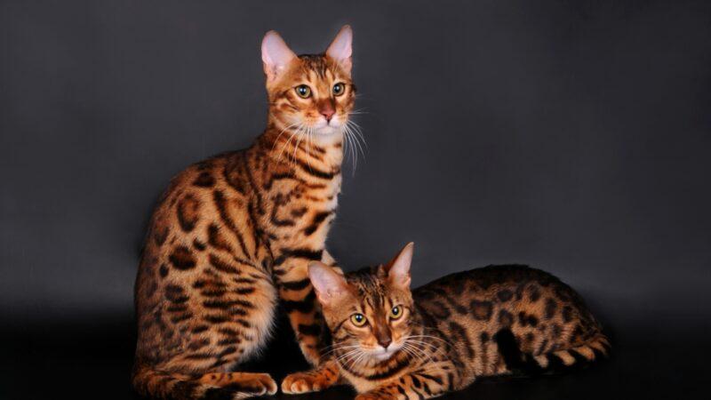 Бенгальский кот или кошка?