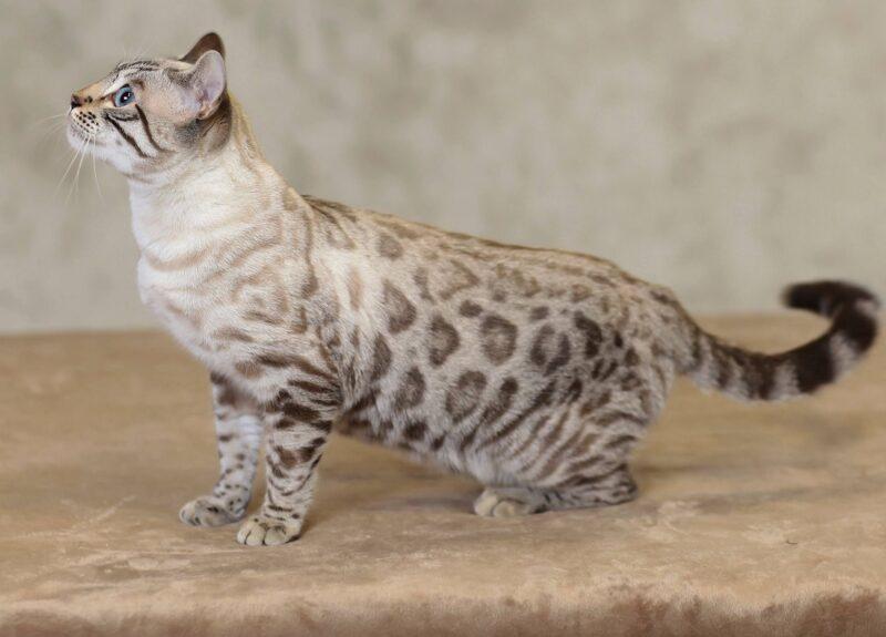 Виды бенгальской кошки