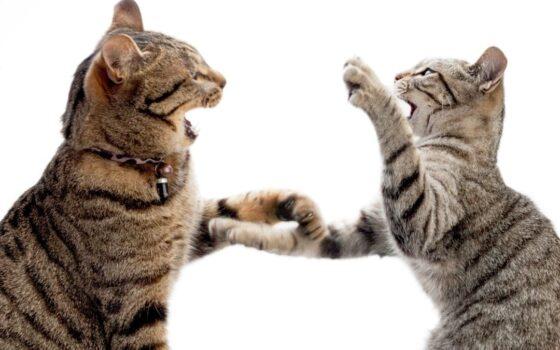 Как остановить драку между двумя кошками: советы, которым нужно следовать