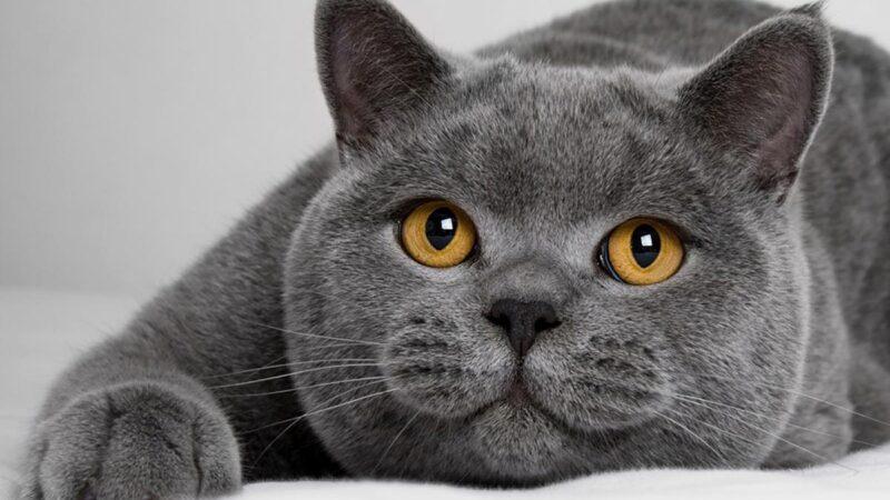 Британские короткошерстные кошки, есть ли запах от них — Интересный ответ!