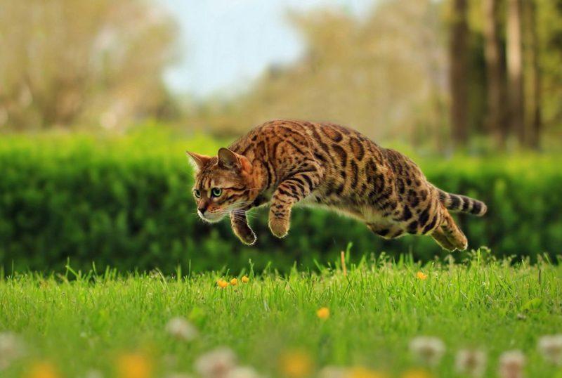 бенгальские кошки убегают
