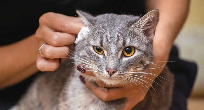 Как кошке чистить уши