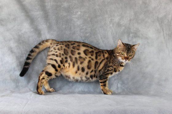 Как долго беременна бенгальская кошка?
