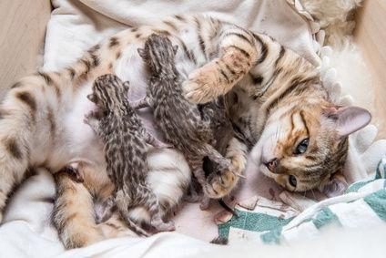 Как узнать, когда бенгальская кошка беременна