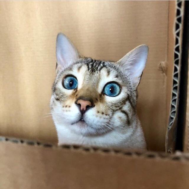 Писают ли бенгальские кошки в доме?