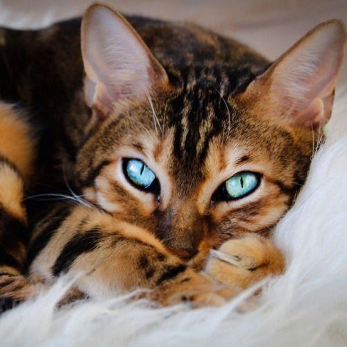 Счастлива ли Ваша Бенгальская кошка?