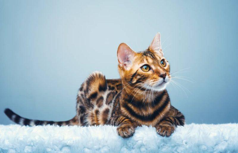 Разрушают ли бенгальские кошки мебель?