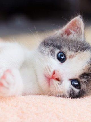 Самые игривые и ласковые породы кошек