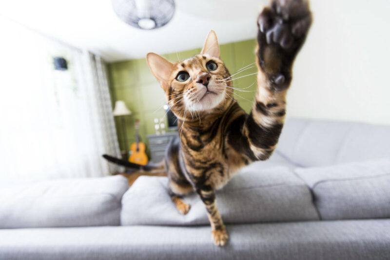 Мяукают ли бенгальские кошки?
