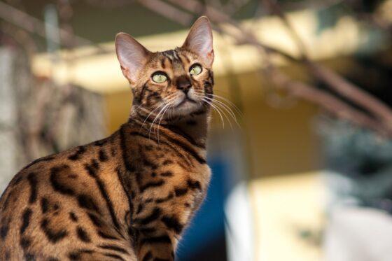 Что такое FIV и почему он так опасен для кошек?