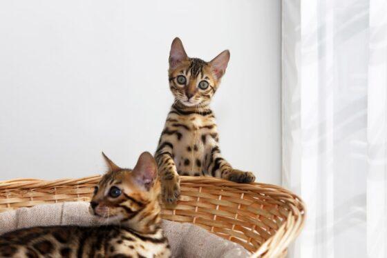 Бенгальские котята - хорошие домашние животные?