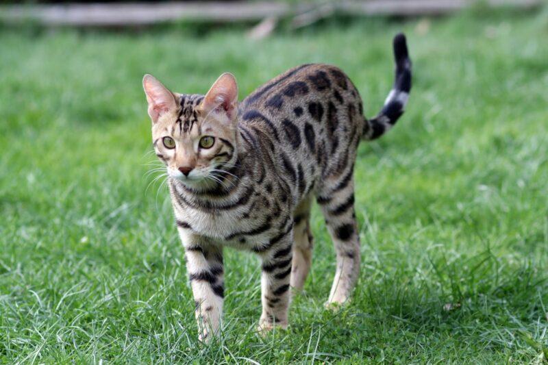 Почему Бенгальские кошки мяукают в ответ, когда вы с ними разговариваете?