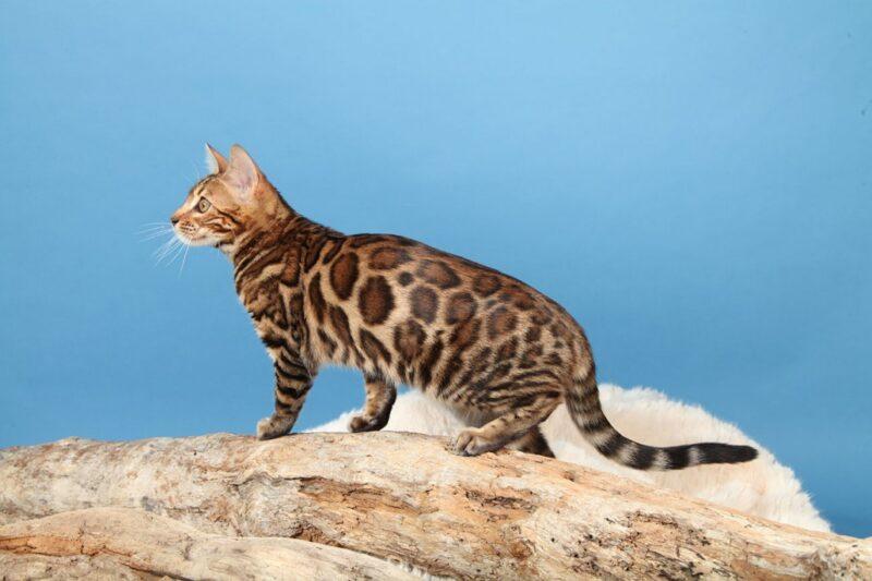 Бенгальская кошка домашняя?