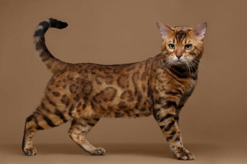 В каком возрасте перестает расти бенгальская кошка? - Этапы жизни