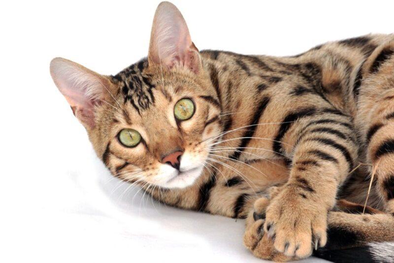 Могут ли бенгальские кошки иметь белые лапы - уникальная характеристика!