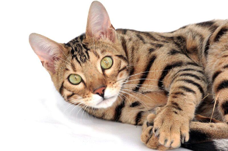 Здоровье бенгальской кошки