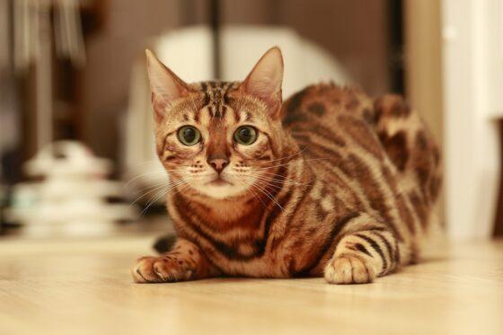 ТОП-10 самых гипоаллергенных кошек