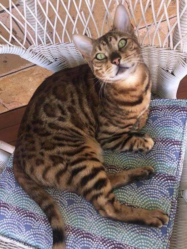 Почему Бенгальские Кошки Виляют Хвостами?