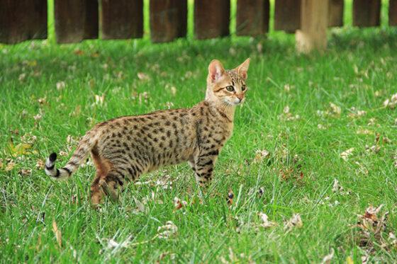 Питание кошки Саванны
