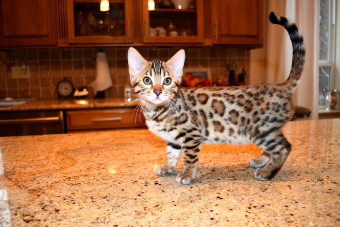 Бенгальские котята линяют?