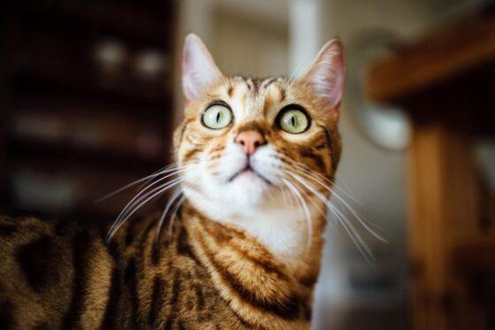 Кошки и чрезмерное мяуканье