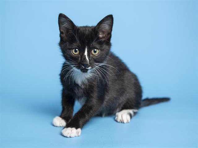 Симптомы коронавируса у котят