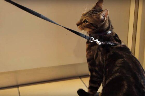 Как приучить кошку к шлейке?