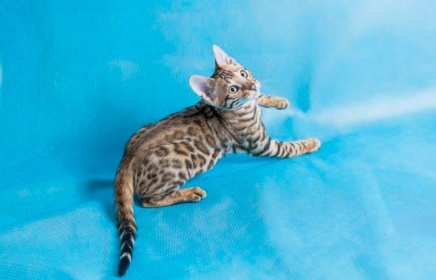 Почему бенгальские кошки виляют хвостом?